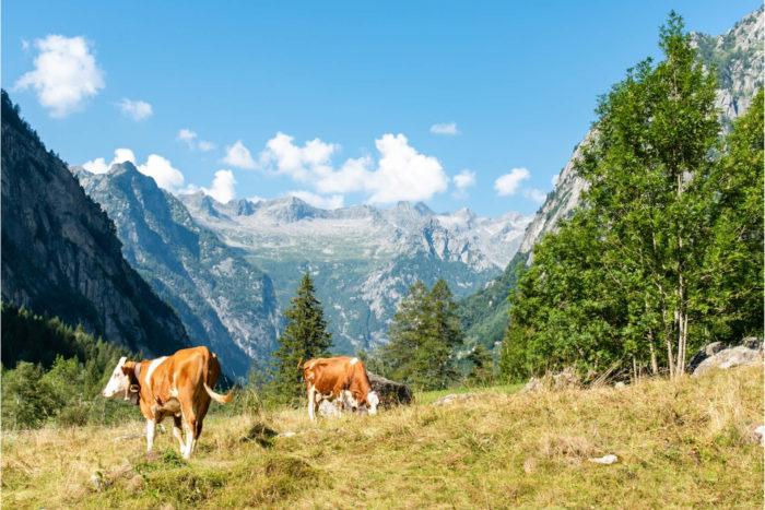 alpi in valtellina con mucche